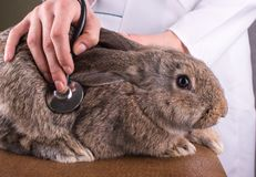 En kvinnlig veterinär som rymmer en kanin Arkivbilder