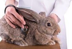 En kvinnlig veterinär som rymmer en kanin Fotografering för Bildbyråer