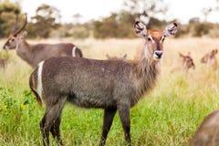 En kvinnlig waterbuck är på varning i Krugeren parkerar, Sydafrika royaltyfria bilder