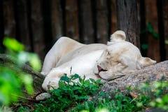 En kvinnliga Lion Sleeping On The Rock royaltyfri bild