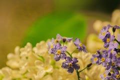 En kvist av den vita lilan och en blomma gl?mma-me-i dagg tappar n?rbild Bokeh i bakgrunden v?r som ?r mjuk fotografering för bildbyråer
