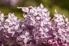 En kvist av lilor på Bush med massor av små blommor Arkivfoton