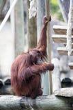 En kyld orangutang Arkivfoto