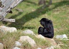 En lättrörliga Gibbon och hennes barn Arkivbild