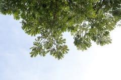 En låg bakgrund lämnar överflöd av regnträdet Fotografering för Bildbyråer