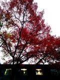 En lönn med röda sidor royaltyfri foto