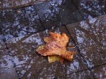 En lönnlöv på asfalten Höst November regn, pölar Arkivfoton