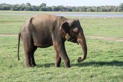 En lös elefant i Sri Lanka i den Kaudulla nationalparken royaltyfri fotografi