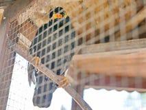 En lös fågelkulle Mynah som fångas i en bur som symboliserar hopplöshet och förlorar frihet i liv arkivbild