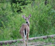 En lös hjort som står och ser royaltyfri bild