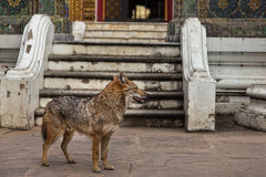 En lös hund på en thailändsk tempel Royaltyfri Bild