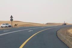 En lös kamel går på en väg bredvid en öken i Dubai UAE, som bilar kör förbi Royaltyfri Bild
