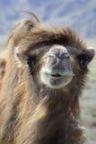 En lös kamel i Kirgizistan Arkivfoto