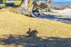 En lös kanin på den Omana stranden Auckland Nya Zeeland royaltyfria foton