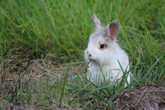 En lös kanin som har matställen på skymning Royaltyfri Foto