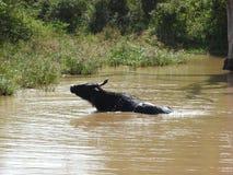 En lös ko badar i en sjö i Sri Lanka nationalpark på en klar dag, i dess naturliga livsmiljö royaltyfria foton