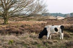 En lös ko i ett landskap Royaltyfria Bilder