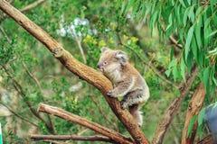 En lös koalaklättring i dess naturliga livsmiljö av eukalyptusträd royaltyfria foton