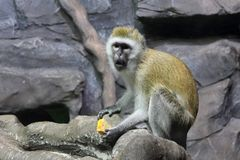En lös Macaqueapa som sitter och äter i trädgården fotografering för bildbyråer