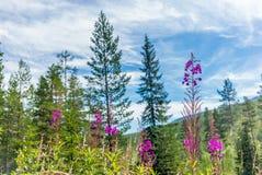 En lös skog i en nationalpark i Norge - 11 Royaltyfri Fotografi