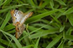 En la cuchilla de la hierba, mariposas de acoplamiento de Victorinini fotografía de archivo