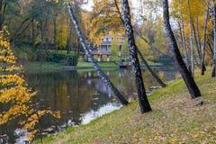 En la cuesta apacible de la orilla de los abedules hermosos de la charca puestos en su amarillo del otoño se va Fotografía de archivo