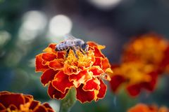En la flor de una maravilla sienta una abeja, un día de verano ligero Fotografía de archivo