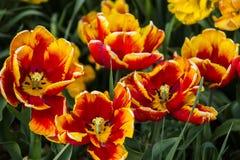 En la floración un mar de rojo y de anaranjado Fotografía de archivo