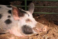 En la granja - cerdo el dormir Fotografía de archivo