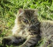 En la hierba es un gato gris Fotos de archivo libres de regalías
