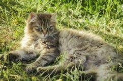 En la hierba es un gato gris Imágenes de archivo libres de regalías