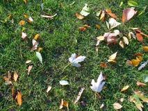 en la hierba verde con las hojas de otoño, otoño 2016 Fotografía de archivo