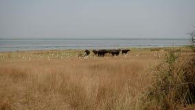 En la manada de la estación seca del búfalo en la orilla del lago en salvaje de África metrajes