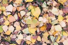 En la mentira de tierra las hojas caidas del abedul Imágenes de archivo libres de regalías