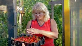 En la mujer madura del invernadero que sostiene una caja con la cosecha de Cherry Tomatoes maduro metrajes