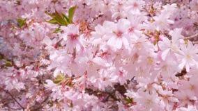 En la primavera la abeja recoge el néctar en las flores rosadas florecientes primer 4k almacen de metraje de vídeo