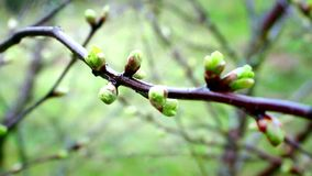 En la primavera adelante sus brotes en los árboles metrajes