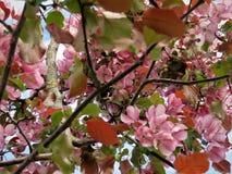 En la primavera de Estonia Azul 2018 del claro del cielo del color de Sakura Imagen de archivo libre de regalías