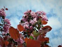En la primavera de Estonia Azul 2018 del claro del cielo del color de Sakura Fotos de archivo libres de regalías