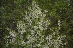 En la primavera una cereza magnífica floreció fotos de archivo