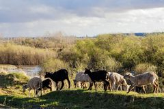 En la puesta del sol las ovejas van a lo largo del barranco fotos de archivo