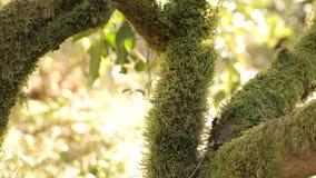 En la rama de un árbol de mandarín un musgo verde hermoso, contra un fondo de rayos de un sol caliente almacen de metraje de vídeo