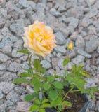 En la rosa del amarillo del tronco Fotos de archivo