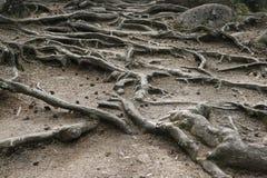 En la superficie de la tierra expuso raíces del árbol Imagen de archivo