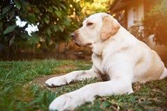 En labrador hund lägger parkerar på Arkivfoton