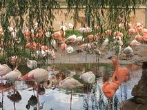 En lade benen på ryggen flamingo royaltyfria bilder
