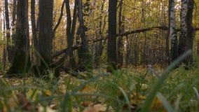 En lake i ett fridsamt trä Grönt gräs på bakgrunden av nedgångträd