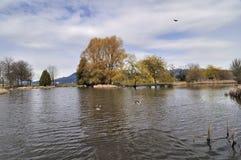 En Lake vid den Jericho stranden (Vancouver BC) är ett paradis av fåglar Arkivfoton