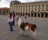 En lama på plazaen Bolivar, Bogota, Colombia fotografering för bildbyråer
