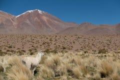 En lama vid dammet på Altiplanoen, Anderna, Bolivia royaltyfria bilder